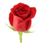 роза 90